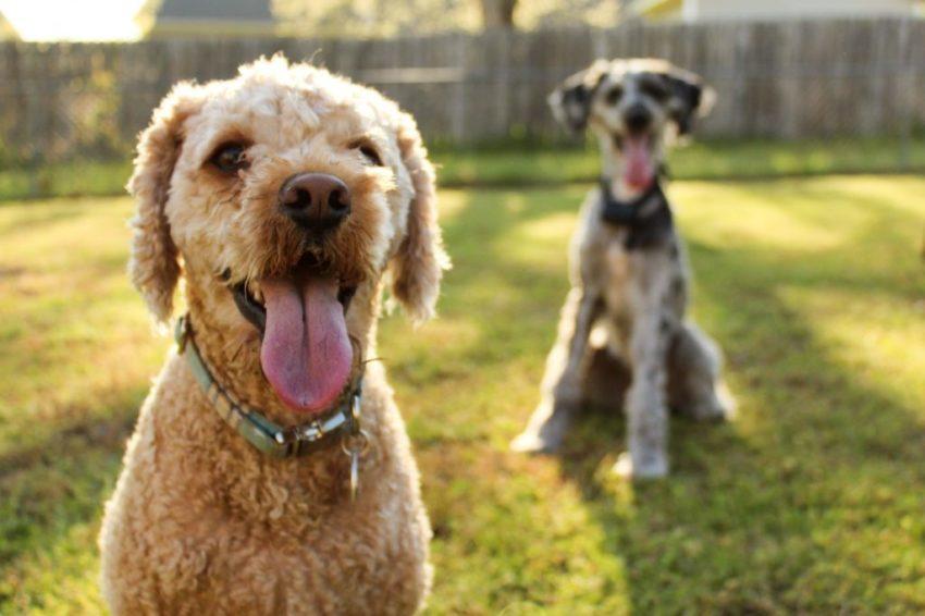 CBD with dogs