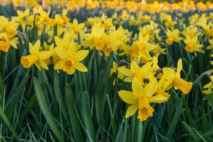300m daffodils left to die